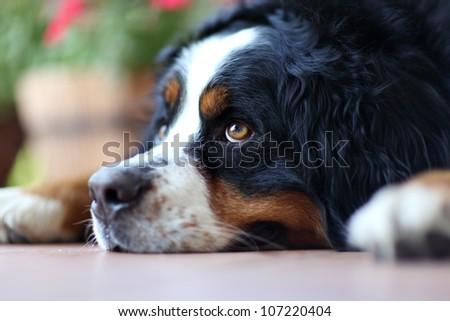 laying a swiss bernese dog - stock photo
