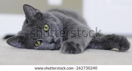 Laying cat - stock photo