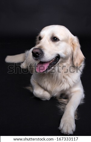 Laying Golden Retriever Portrait