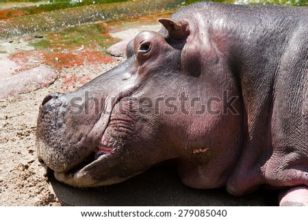 Laying hippo. - stock photo