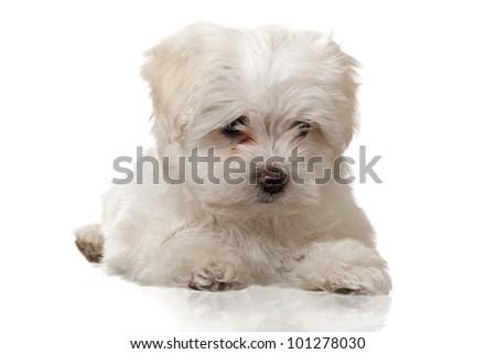 laying maltese puppy on white background - stock photo