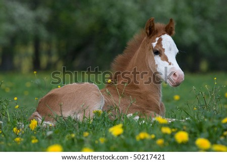 Laying nice welsh pony foal - stock photo