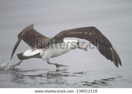 Laysan Albatross (Phoebastria immutabilis) in Nortn Japan