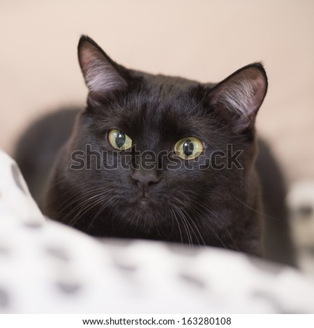 Lazy big black cat laying on bed - stock photo
