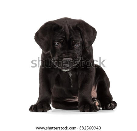 Lazy Black Cane Corso puppy isolated on white background. Front view, sitting.