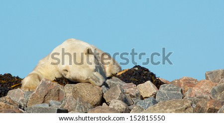 Lazy Canadian Polar Bear  sleeping on some rocks next to the arctic tundra of the Hudson Bay near Churchill, Manitoba in summer - stock photo