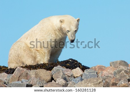 Lazy Canadian Polar Bear waking up on some rocks next to the arctic tundra of the Hudson Bay near Churchill, Manitoba in summer - stock photo