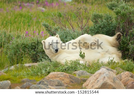 Lazy Canadian Polar Bear wallowing and stretching in the the Arctic tundra of the Hudson Bay near Churchill, Manitoba in summer - stock photo
