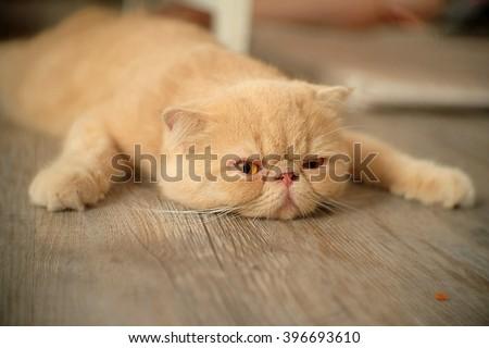 Lazy cat. Full. Asleep on the floor. - stock photo