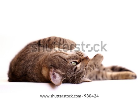 Lazy cat, isolated with copy space
