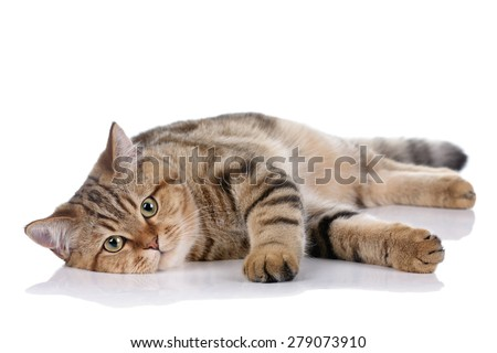 Lazy cat lying on a white background