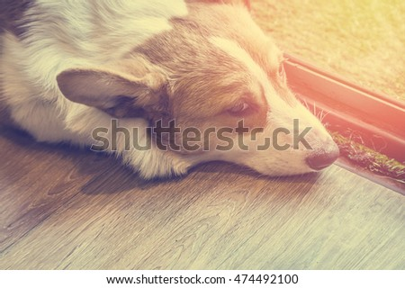 lazy corgi Dog sleeping on the wooden floor in the house. vintage color tone