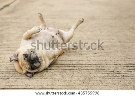 lazy face of pug dog lying on concrete road.