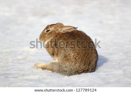 lazy far brown rabbit standing in snow at the farm