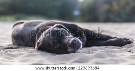 Lazy Labrador retriever laying in sand - stock photo