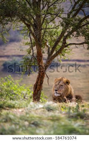 Lazy Lion King - stock photo