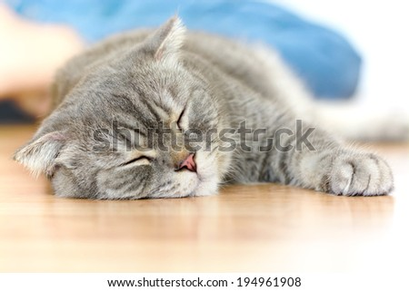 Lazy scottish fold cat