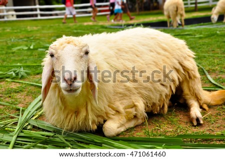 Lazy sheep laid down and enjoy the fresh grass, Thailand