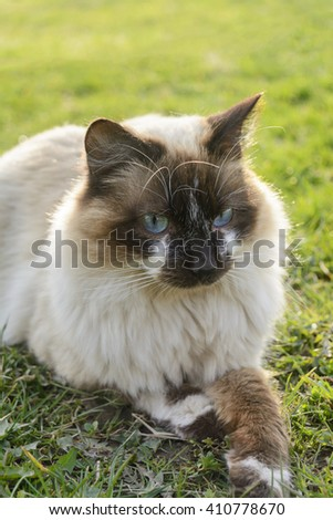 Lazy siamese cat - stock photo