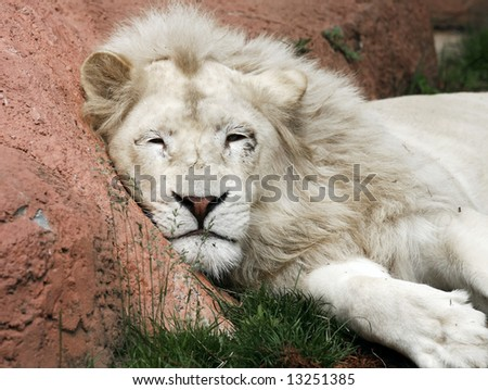 lazy white lion