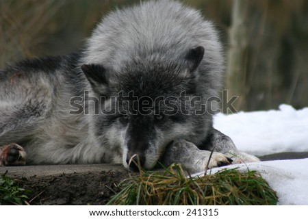 Leader of the pack - stock photo