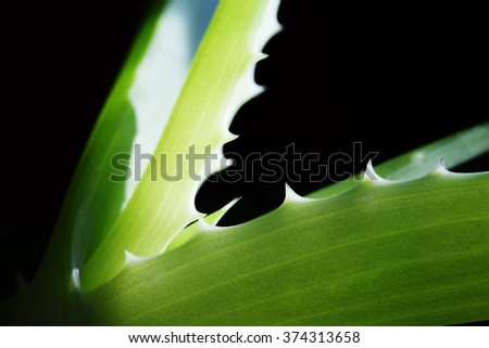 Leaf aloe Vera on a black background.