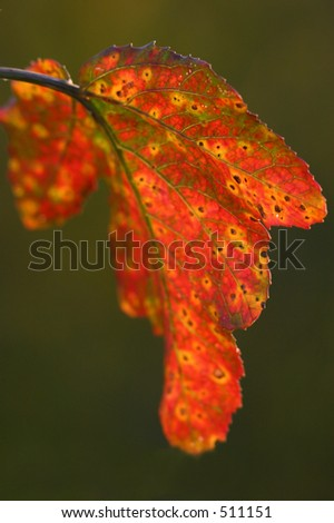 Leaf at Sunset - stock photo