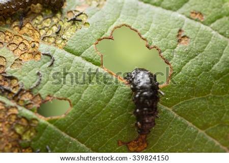 Leaf beetle, Chrysomelidae larva on damaged leaf - stock photo
