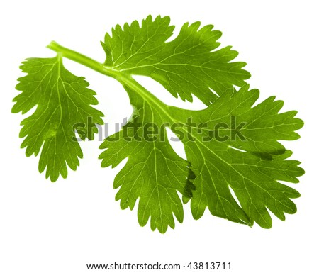 leaf  cilantro coriander isolated on white background