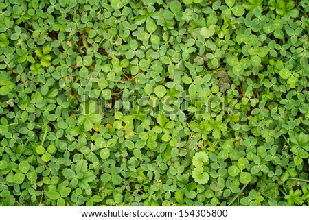 leaf clover background - stock photo
