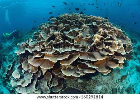 Leaf coral and tropical underwater life - stock photo