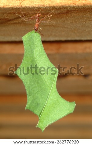 Leaf-cutter ant, Acromyrmex octospinosus, carrying leaf, - stock photo