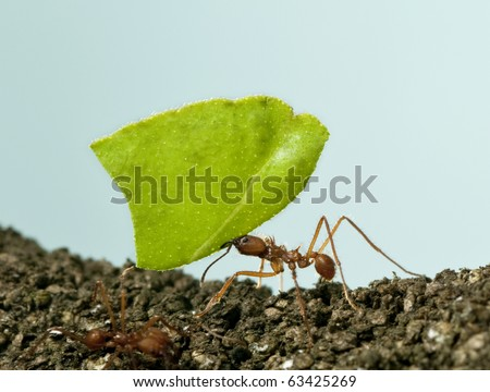 Leaf-cutter ant, Acromyrmex octospinosus, carrying leaf in front of blue background - stock photo