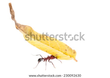 Leaf-cutter Ant (Acromyrmex striatus) carrying leaf. Patagonia, Argentina, South America. - stock photo