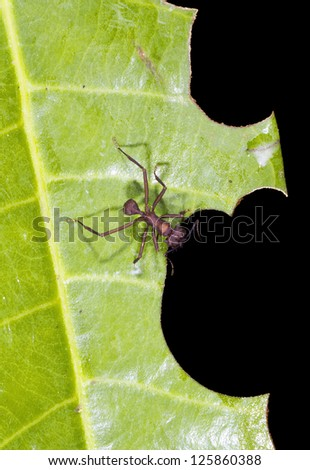 Leaf cutter ant (Atta sp.) has just cut a piece out of a leaf - stock photo