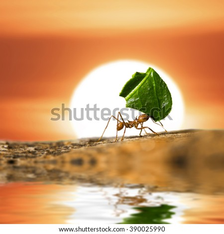 Leaf-cutter ant carrying leaf piece on flooded tree log on sunset sky background. - stock photo