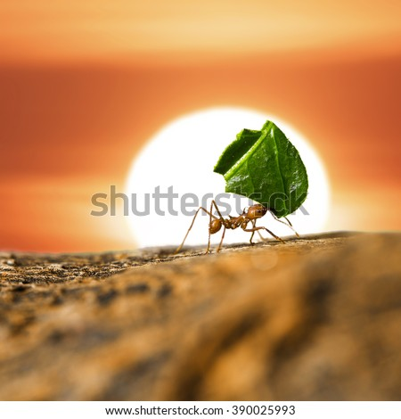 Leaf-cutter ant carrying leaf piece on tree log on sunset sky background.