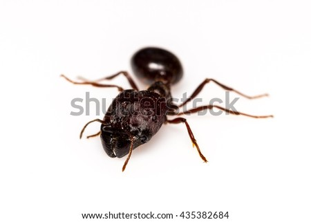 Leaf cutter ant isolated on white background - stock photo