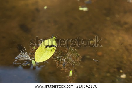 Leaf cutter ant trying to get off of a leaf floating in a pond - stock photo