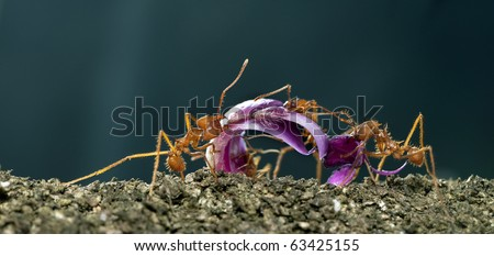 Leaf-cutter ants, Acromyrmex octospinosus, carrying flower petal in front of blue background - stock photo
