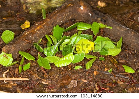 Leaf cutter ants, Atta, in Amazon rainforest. - stock photo