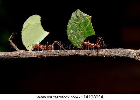 Leaf cutter ants, carrying leaf, black background. - stock photo