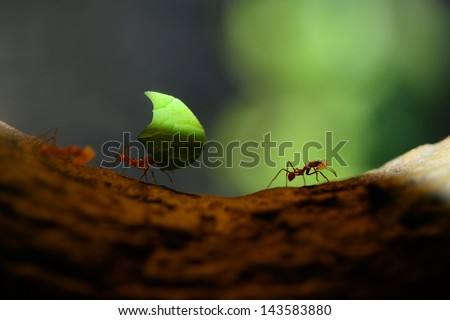 Leaf cutter ants, carrying leaf, black background. - stock photo