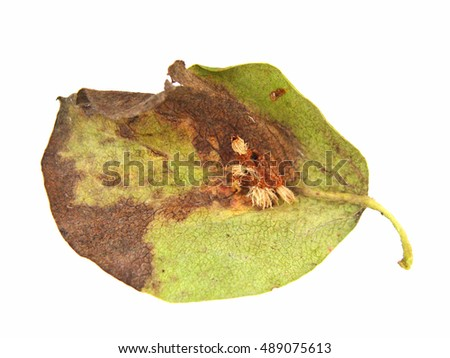 Leaf damaged by fungal disease European pear rust on white background lower side view.