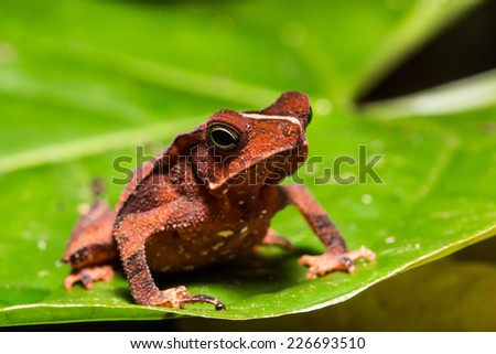 Leaf dart frog of the amazon forest, Iquitos, peru - stock photo