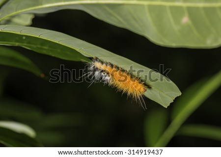leaf eating caterpilla