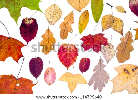 leaf fall from autumn leaves isolated on white background