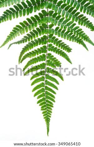 Leaf fern isolated on white background of close-up - stock photo