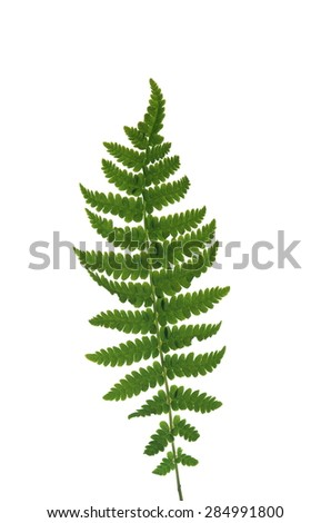 leaf  fern on white background - stock photo