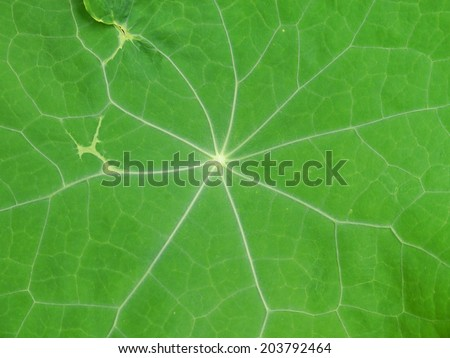 leaf from a nasturtium - stock photo